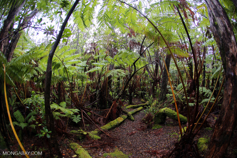 Fern forest at Volcanos National Park
