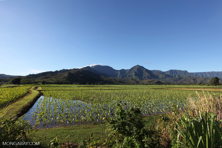 Taro fields near Hanalei