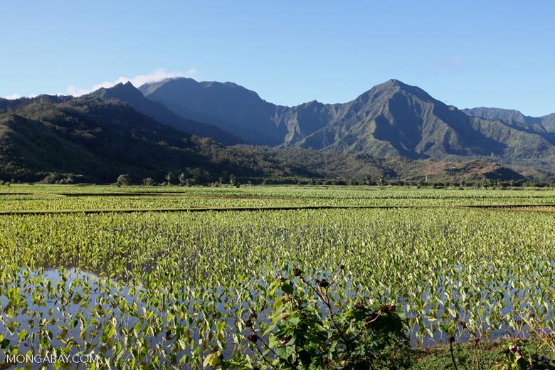 Taro fields near Hanalei