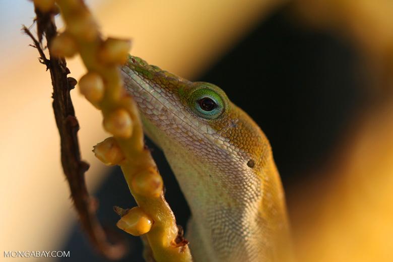 Carolina anole, an invasive 'chameleon' in Hawaii