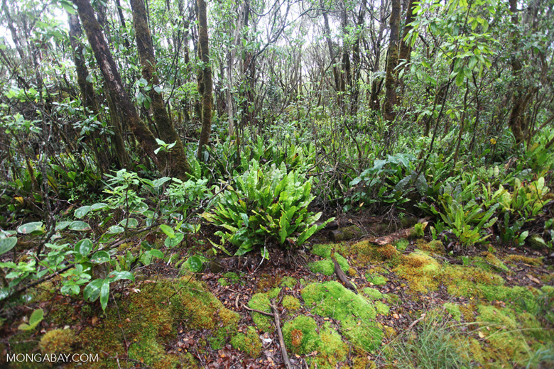 Vegetation along the Alaka'i Swamp Trail