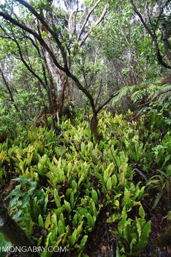 Vegetation along the Alaka'i Swamp Trail