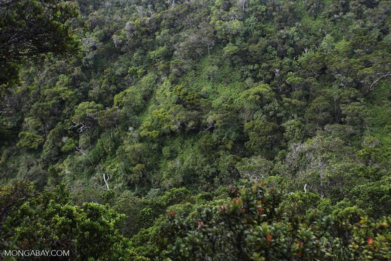 Alakai forest