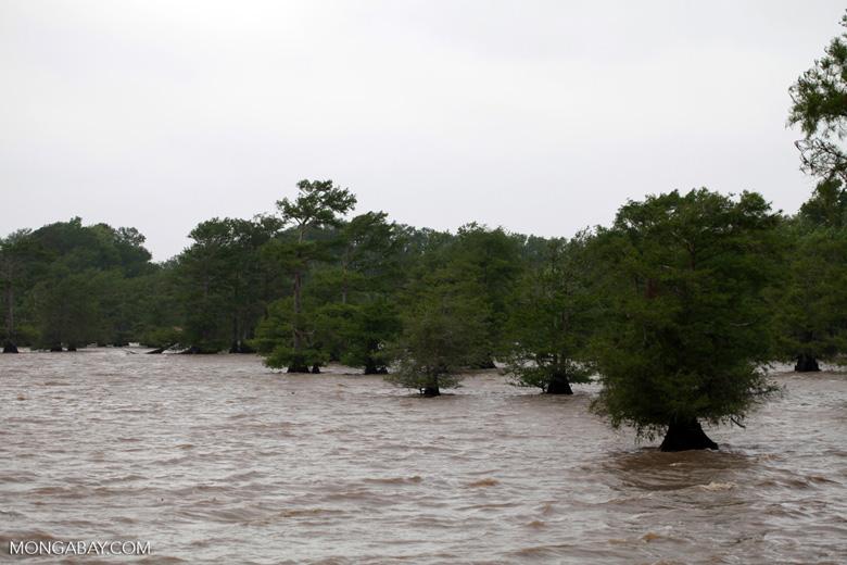 Cypress swamp in Bayou