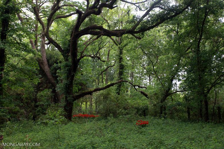 Horseman's star (Hippeastrum) in the Lacassine Wildlife Refuge cypress swamp
