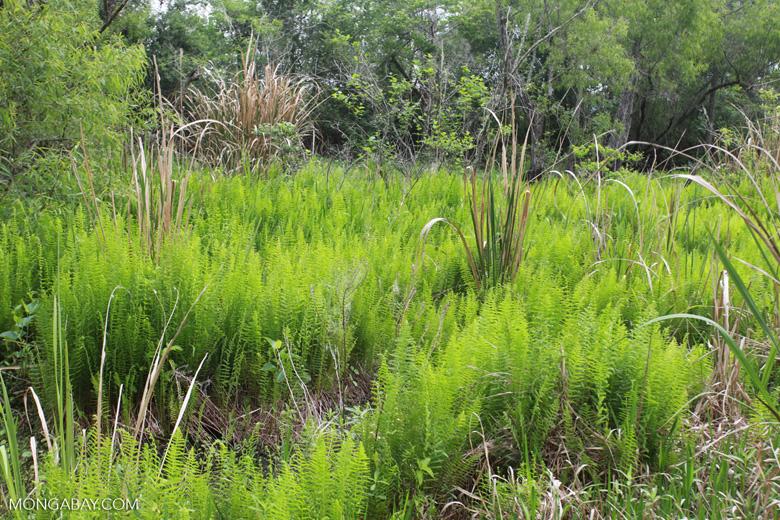 Ferns in the Bayou