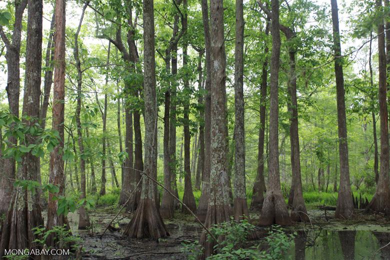 Bayou forest