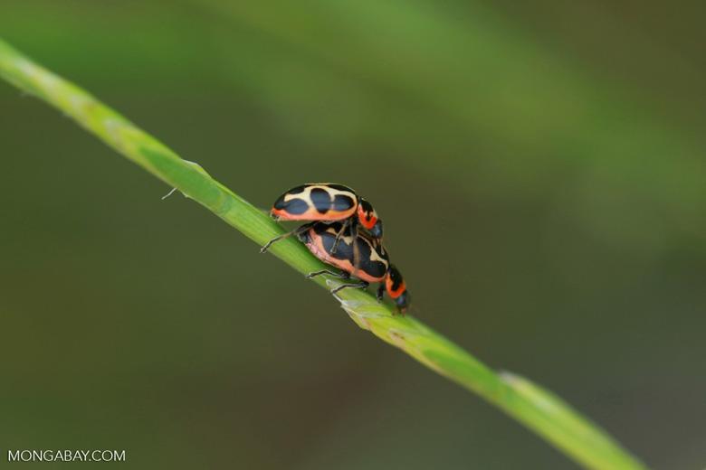 Mating black, yellow, orange, and red beetles