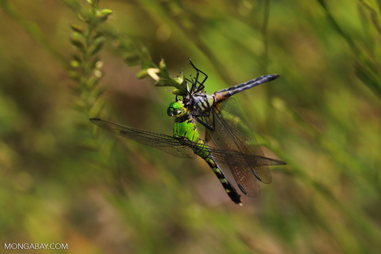 Green dragonfly eating the head off another dragonfly