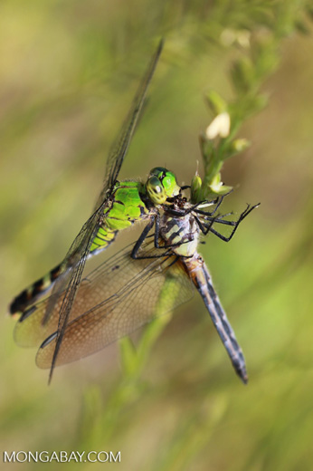 Carnivorous dragonfly