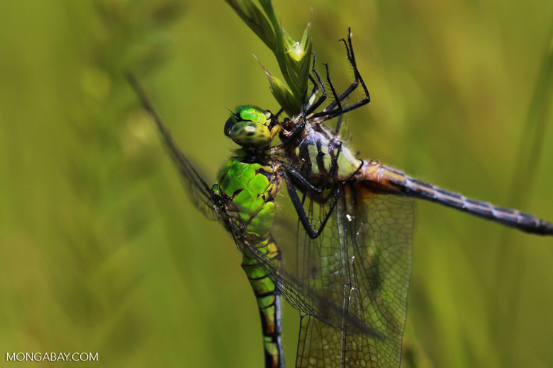Cannibalistic dragonfly