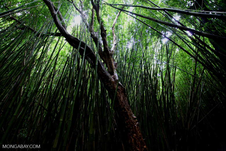 Bamboo forest in Haleakala National Park