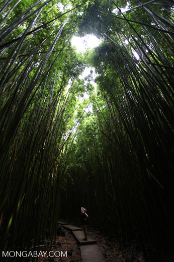 Woman amid bamboo in Oheo Gulch