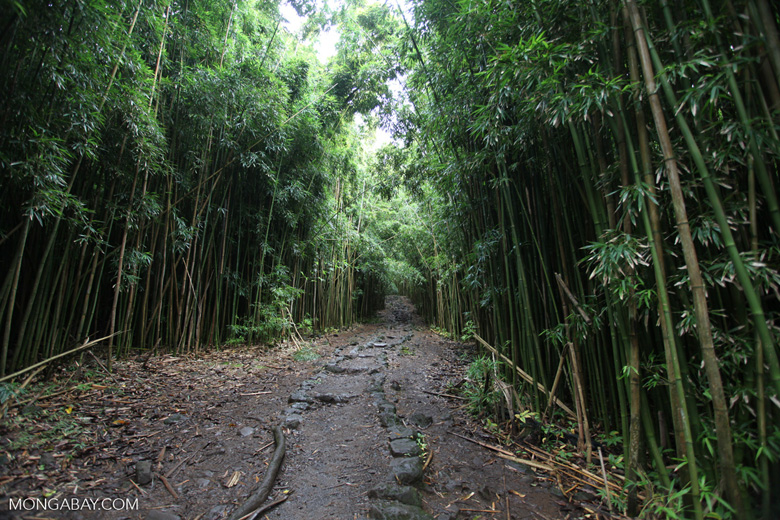 Pathway through a bamboo forest
