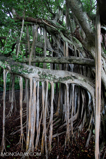 Aerial prop roots of a banyan tree