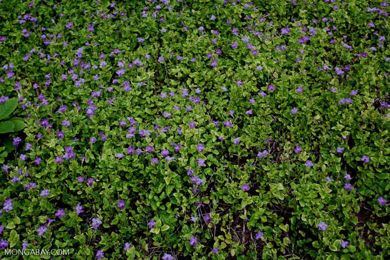 Purple ground flowers