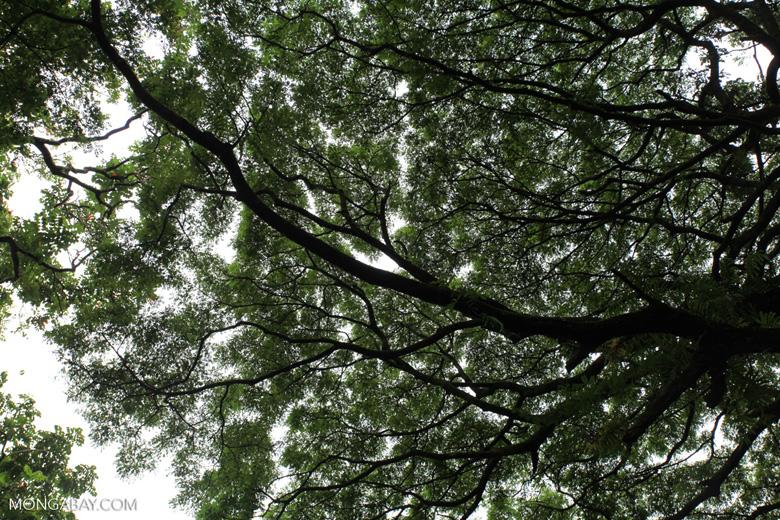 Hawaii canopy