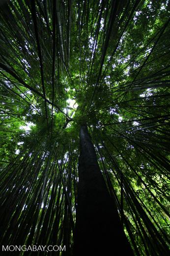 Haleakala bamboo forest