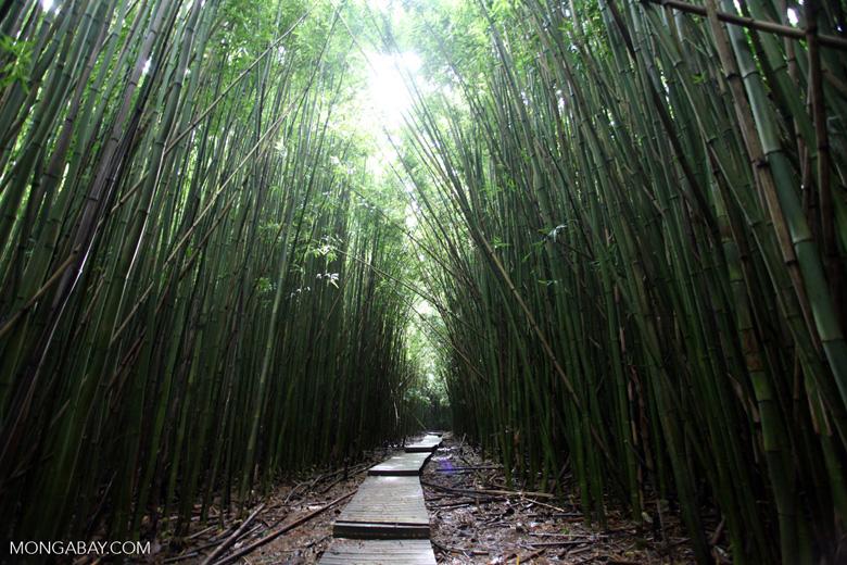 Trail through Haleakala bamboo forest
