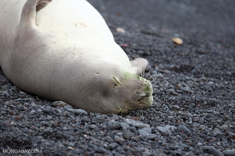 Endangered Hawaiian monk seal