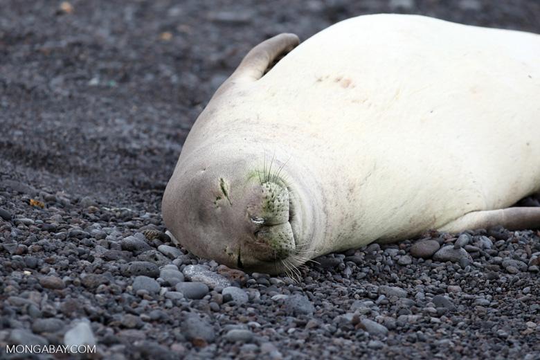 Endangered Hawaiian monk seal sleeping on a beach
