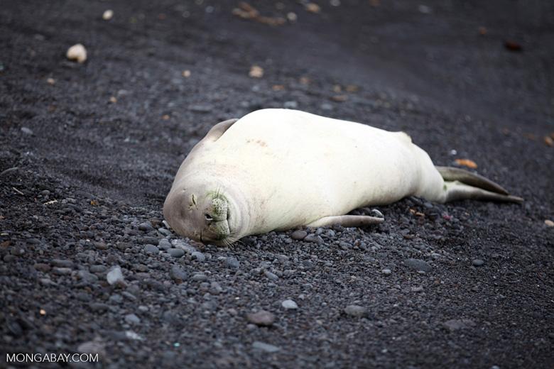 Endangered Hawaiian monk seal (Monachus schauinslandi) sleeping on a beach