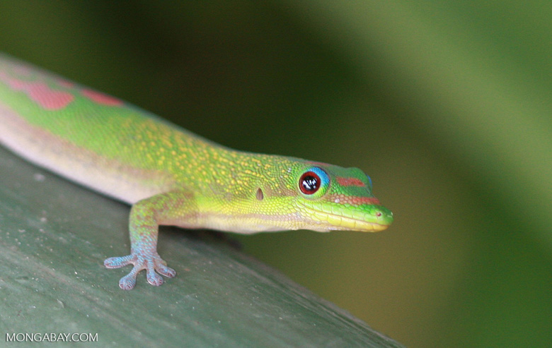 Gold dust day gecko, a non-native lizard species in Hawaii