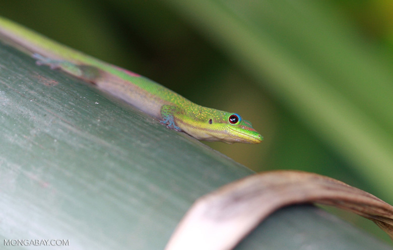 Gold dust day gecko, a lizard introduced to Hawaii from Madagascar