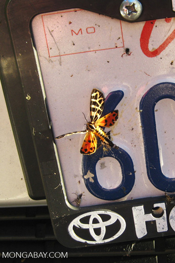 Dead colorful butterfly on a license plate