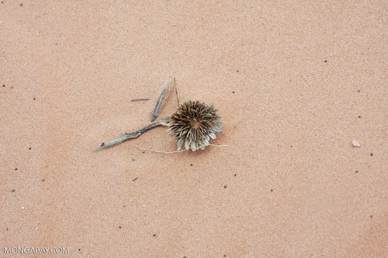 Dried flower in Coral Pink Sand Dunes State Park