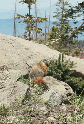 Rock chuck (Marmota flaviventris)