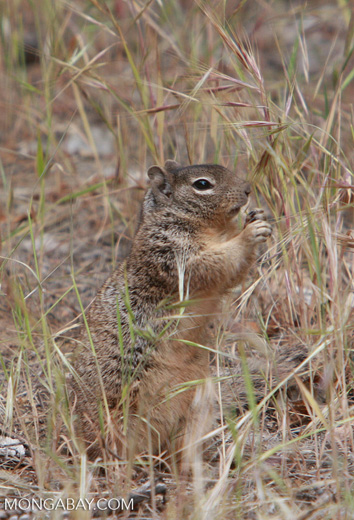 Richardson's Ground Squirrel (Spermophilus richardsonii)