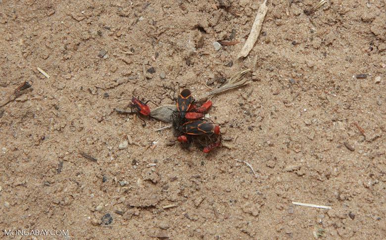 Beetle orgy