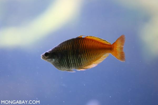 Boeseman's rainbowfish (Melanotaenia boesemani)