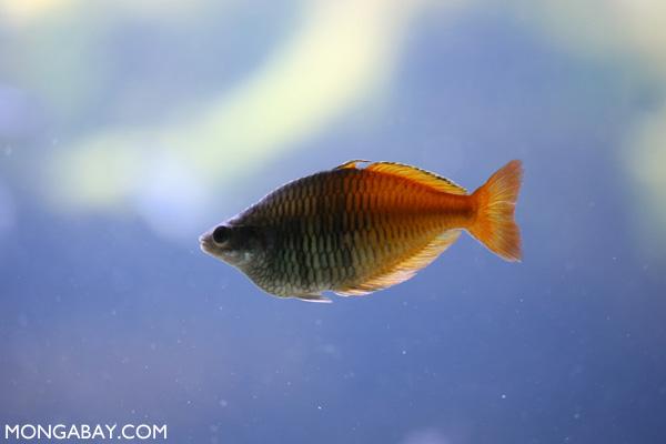Orangeback rainbowfish (Melanotaenia boesemani)