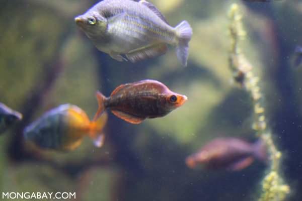 Vermilion rainbowfish