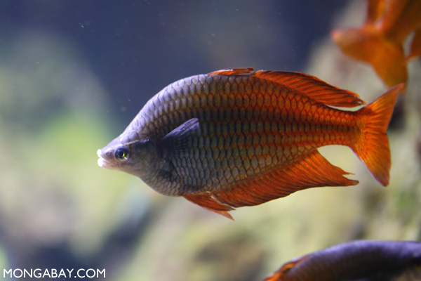Parkinson's rainbowfish
