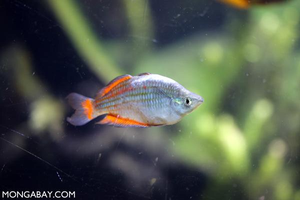 Melanotaenia maccullochi rainbowfish