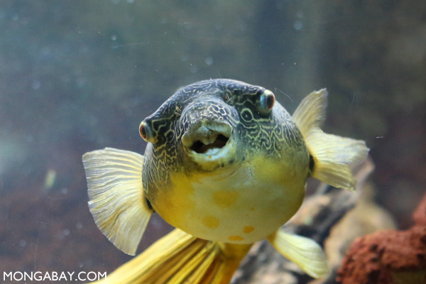 Potato puffer fish (Tetraodon miurus)
