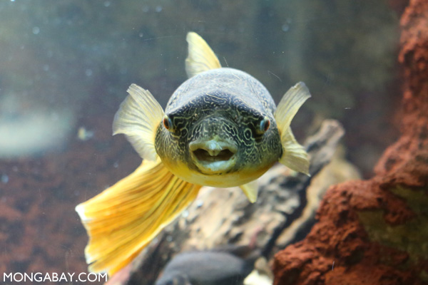 Congo puffer fish (Tetraodon miurus)