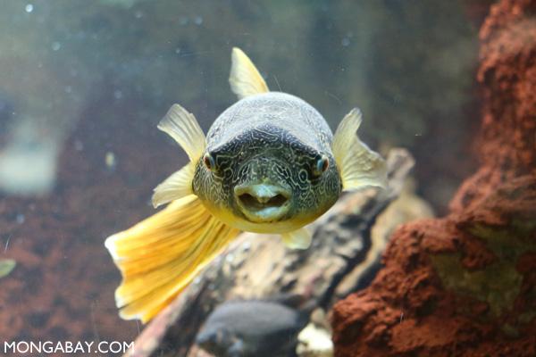 Congo pufferfish (Tetraodon miurus)