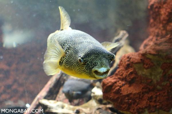 Congo river puffer fish (Tetraodon miurus)