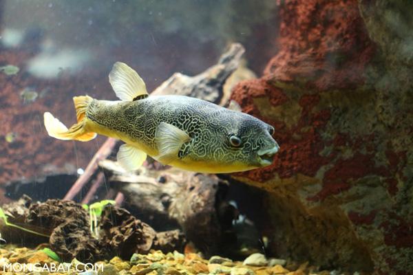 Congo river puffer (Tetraodon miurus)