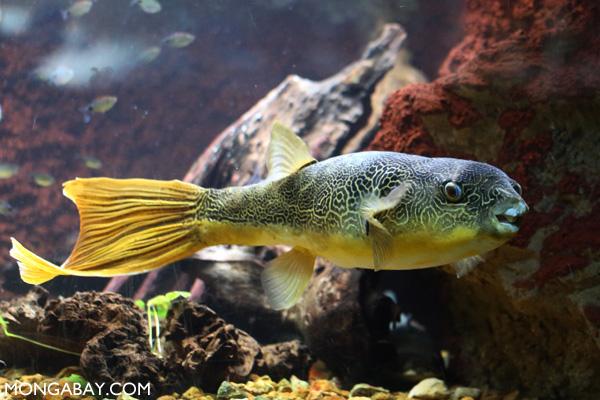 Congo pufferfish