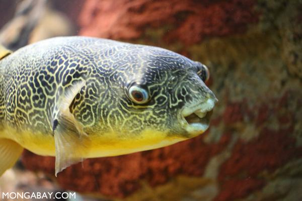 Potato puffer fish