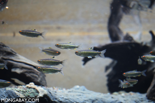 African red-eyed characin
