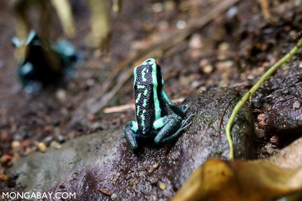 Pleasing poison frog (Ameerega bassleri)