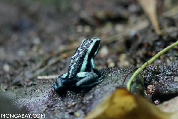 Pleasing poison dart frog (Ameerega bassleri)