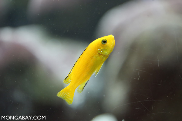 Yellow labid