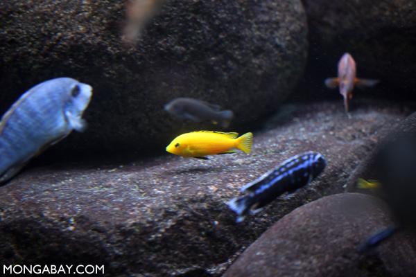 Yellow labidichromis in a Lake Malawi cichlid setup